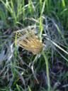 seed head of pulsatilla oenipontana,