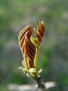young walnut-shoot (juglans sp.)