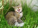 tiger, yawning. 2005-05-20, Sony Cybershot DSC-F717.