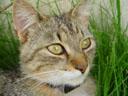 tiger cat. 2005-05-20, Sony Cybershot DSC-F717.