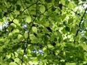 beech mosaic (fagus sylvatica)