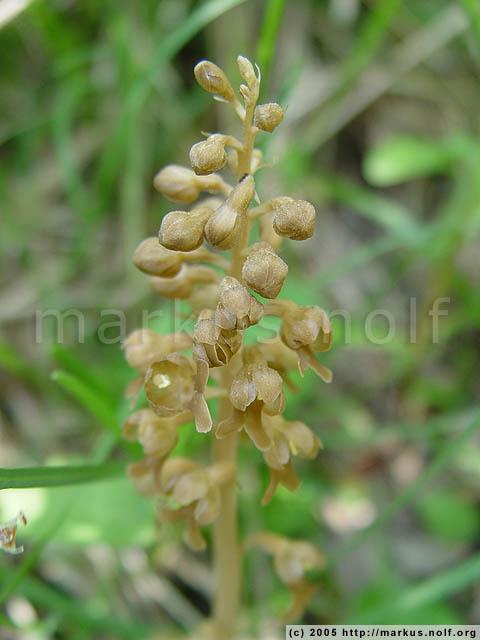 bird's nest orchid (neottia nidus-avis)