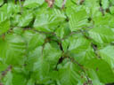beech leaves (fagus sylvatica)