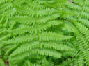 fern closeup