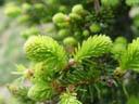 spruce sprouts (picea sp.). 2005-05-22, Sony Cybershot DSC-F717.