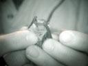 common pipistrelle (pipistrellus pipistrellus). 2005-06-10, Sony Cybershot DSC-F717.