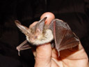 the brown long-eared bat (plecotus auritus). 2005-06-10, Sony Cybershot DSC-F717.