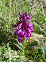 spotted orchid (orchis maculata?)
