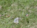 gimpel (pyrrhula pyrrhula) || foto details: 2005-06-11, kaunerberg / kaunertal valley / austria, Sony Cybershot DSC-F717.
