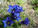 kochscher enzian (gentiana acaulis) || foto details: 2005-06-11, kaunerberg / kaunertal valley / austria, Sony Cybershot DSC-F717.