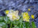 gefrorene sumpfdotterblume (caltha palustris) || foto details: 2005-06-11, kaunerberg / kaunertal valley / austria, Sony Cybershot DSC-F717.