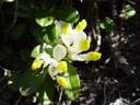 milkwort (polygala chamaebuxus)