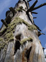 old, dead tree. 2005-06-11, Sony Cybershot DSC-F717.