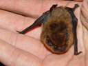 the common pipistrelle (pipistrellus pipistrellus) - it's tiny!. 2005-06-23, Sony Cybershot DSC-F717.