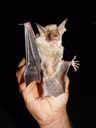 greater mouse-eared bat (myotis myotis). 2005-06-23, Sony Cybershot DSC-F717.
