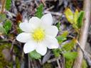 mountain avens (dryas octopetala), flower. 2005-07-02, Sony Cybershot DSC-F717.