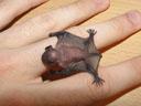 newborn common pipistrelle (pipistrellus pipistrellus). 2005-07-15, Sony Cybershot DSC-F717.