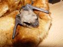 breitflügelfledermaus (eptesicus serotinus), alter: 4 wochen    foto details: 2005-07-15, rum, austria, Sony Cybershot DSC-F717.