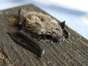 kuhl's pipistrelle bat (pipistrellus kuhlii), baby. 2005-08-14, Sony Cybershot DSC-F717.