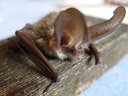a long-eared bat (plecotus sp.)