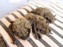 baby bats. 2005-08-14, Sony Cybershot DSC-F717.