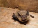 common pipistrelle bat (pipistrellus pipistrellus), baby. 2005-08-14, Sony Cybershot DSC-F717.