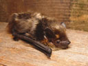 northern serotine bat (eptesicus nilssonii). 2005-08-14, Sony Cybershot DSC-F717.