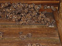 a colony of greater mouse-eared bats (myotis myotis)