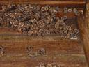 a colony of greater mouse-eared bats (myotis myotis). 2005-08-20, Sony Cybershot DSC-F717.
