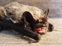 the sharp little teeth of the parti-coloured bat (vespertilio murinus)