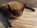 kiss me, i'm the cook serotine bat (eptesicus serotinus) :-)