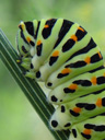 swallowtail caterpillar (papilio machaon). 2005-09-03, Sony Cybershot DSC-F717.