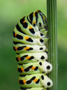 swallowtail caterpillar (papilio machaon)