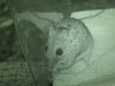 eurasian field mouse (apodemus sp.), nightshot