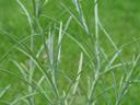 curry plant (helichrysum italicum). 2005-05-22, Sony Cybershot DSC-F717.