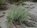german tamarisk (myricaria germanica). 2005-09-29, Sony Cybershot DSC-F717.