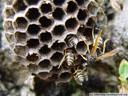 a wasp's nest. 2005-09-29, Sony Cybershot DSC-F717.