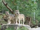 europäische wölfe (canis lupus) || foto details: 2005-10-05, alpenzoo innsbruck / austria, Sony Cybershot DSC-F717.