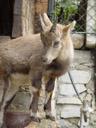 junger alpensteinbock (capra ibex ibex) || foto details: 2005-10-05, alpenzoo innsbruck / austria, Sony Cybershot DSC-F717.