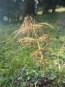 horsetail (equisetum sp.). 2005-10-06, Sony Cybershot DSC-F717.