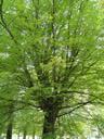 beech tree (fagus sylvatica)