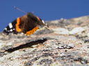 red admiral (vanessa atalanta), taking off
