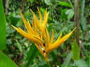 parakeet flower 'golden torch' (heliconia psittacorum x h. spathocircinata)