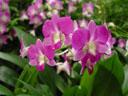 orchid (dendrobium hybrid). 2005-11-09, Sony Cybershot DSC-F717. keywords: pink