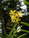 mokara orchid (mokara sp.)