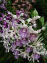dendrobium khunying savetsila (dendrobium margaret thatcher x d. rahah). 2005-11-09, Sony Cybershot DSC-F717. keywords: pink white purple orchid