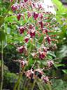 dendrobium margaret thatcher (dendrobium concham x d. lasianthera). 2005-11-09, Sony Cybershot DSC-F717. keywords: pink orchid