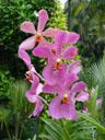 mokara orchid 'chark kuan'. 2005-11-09, Sony Cybershot DSC-F717.