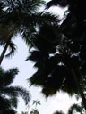 palm shapes. 2005-11-09, Sony Cybershot DSC-F717.