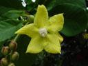 shrubby simpoh flower (dillenia suffruticosa). 2005-11-09, Sony Cybershot DSC-F717.